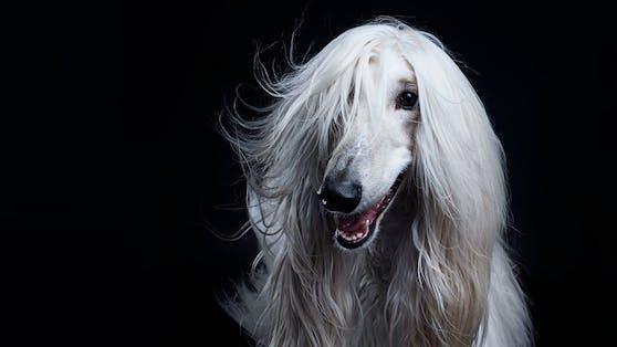 """Der """"Afghanische Windhund"""" ist ein ganz besonderer Hund."""
