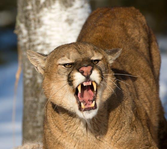 Ein wilder Puma (Puma concolor) attackierte den Buben. Symbolbild