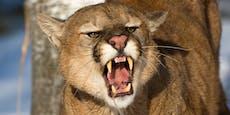 Puma attackiert Bub (5) und wird von Mutter verprügelt