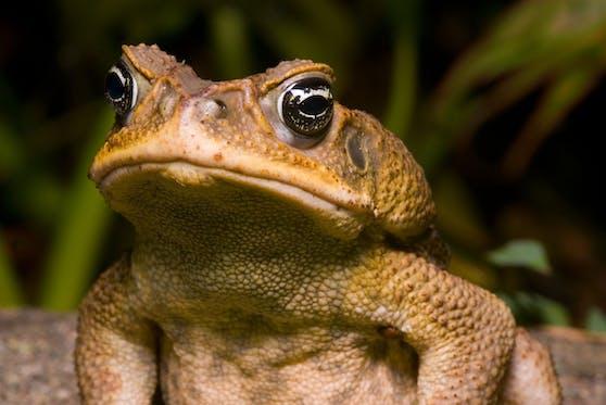 Die Aga-Kröte ist ursprünglich in Südamerika heimisch, wurde aber nach Australien eingeführt.