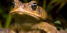 Warum sich die Aga-Kröte jetzt selbst ausrottet