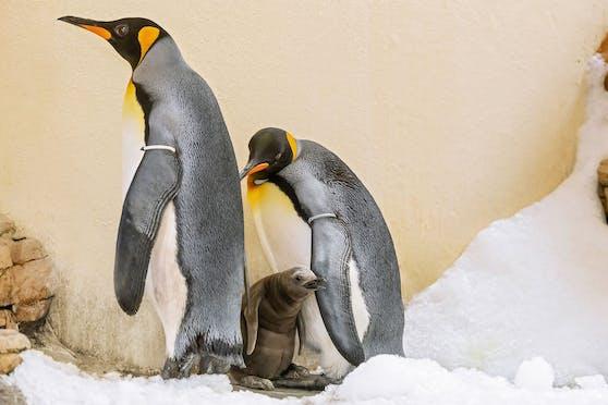 Das Küken der Königspinguine hat endlich die weiche Bauchfalte seine Eltern verlassen.