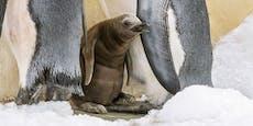 Pinguinküken zeigt sich erstmals Schönbrunn-Besuchern