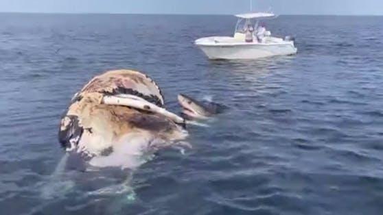 Für die Weißen Haie war der Wal-Kadaver ein Festmahl.