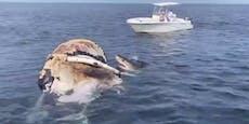 Mehrere Weiße Haie stürzen sich auf Wal