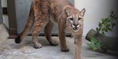 Wilder Puma aus Wohnung in New York befreit