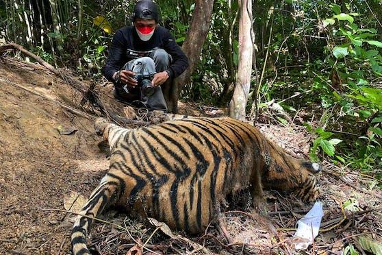 Drei tote Sumatra-Tiger wurden beim Dorf Buboh im Westen Indonesiens entdeckt.