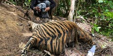 Tigermama mit Babys qualvoll in Drahtfalleverendet