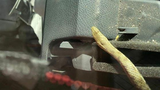 Der blinde Passagier kroch während der Fahrt zu der geschockten Familie ins Auto.