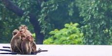 Affen auf der Trauminsel Bali vermissen die Touristen