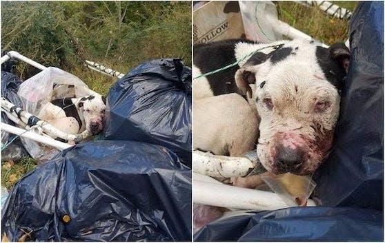 """Schwer verletzt und bereits nur noch mit halben Gesicht fand man Pitbull-Rüden """"Charlie"""" auf einer Müllhalde in Philadelphia."""