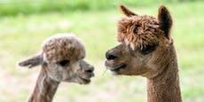 Tierhasser fügen Alpakas tiefe Schnittwunden zu