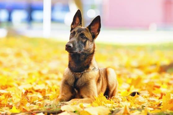 Belgische Schäferhunde sind sehr territorial und intelligent und deshalb auch sehr beliebt als Begleithunde der Polizei. (Symbolbild)