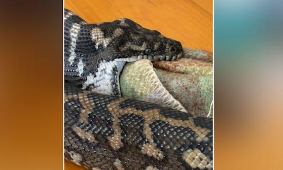 Kann das schmecken? Ein Python verwechselte die Hundedecke wohl mit seiner eigentlichen Beute.