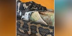 Python verwechselt seine Beute und erstickt beinahe