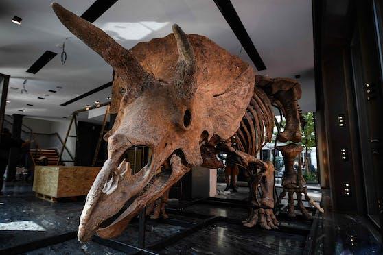 """""""Big John"""" ist rund acht Meter lang und 66 Millionen Jahre alt. In ein Museum wird er wohl nicht kommen."""