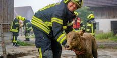 "Alles wieder ""KUHt"": Kalb aus Jauchegrube gerettet"