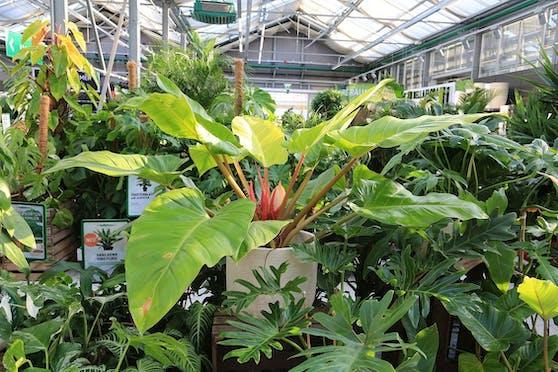 Auch für Zimmerpflanzen gibt es derzeit Wartelisten.