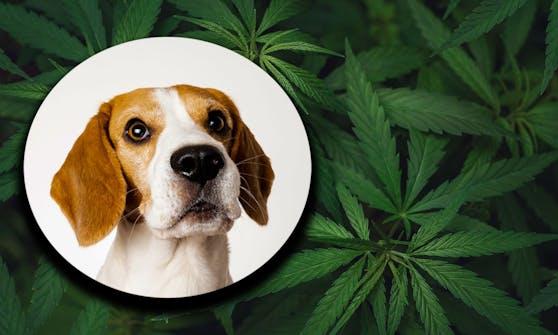 """Seinen Hund in den """"Genuss"""" von einem Joint kommen zu lassen, ist grob fahrlässig."""
