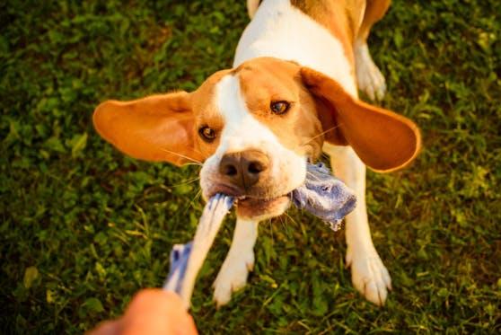 """Der kleine Beagle """"Beau"""" hatte im wortwörtlich an den Socken seines Frauchen einen Narren gefressen."""
