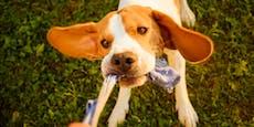 Junger Beagle verschmauste gleich NEUN Socken