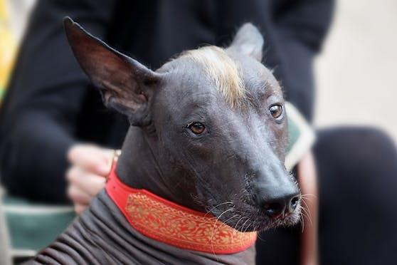 """Der """"Xoloitzcuintle"""", kurz """"Xolo"""" ist wohl die älteste Hunderasse der Welt und stammt aus Mexiko."""