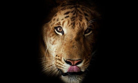 Die Verpaarung von Löwen und Tigern nennt man entweder Liger oder Töwe - je nachdem welches Tier das Weibchen ist.
