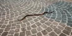 Schlange zischt mitten durch die St. Pöltner City