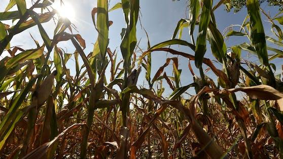 Maispflanzen auf einem von Trockenheit und Dürre betroffenen Feld in Niederösterreich. Dürreperioden treten in Zeiten der globalen Klimakrise häufiger auf und dauern gerade im Osten des Landes länger. Dies führt zu dramatischen Ernteausfällen.