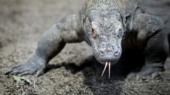 Komodowarane sind faszinierende Wesen. Sie leben in Indonesien.Schätzungen zufolge gibt es nur noch rund 6.000 Tiere. Sie sind aufgrund der Erderhitzung vom Aussterben bedroht.