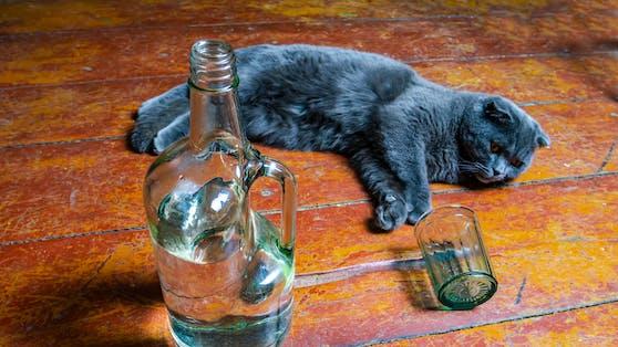 Tiere sollte man normalerweise vor Alkohol schützen - eine Katze konnte aber nur durch Wodka überleben.