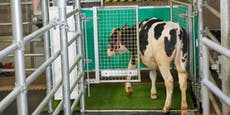 Fürs Klima – Kühe lernten jetzt aufs Klo zu gehen