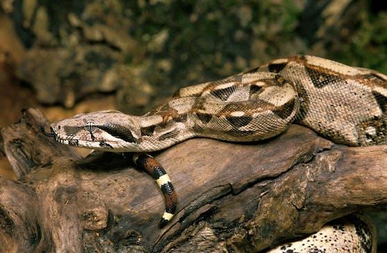 Im schottischen Dundee trauten Parkbesucher ihren Augen nicht, als ein Paar mit seiner Schlange spazieren ging.