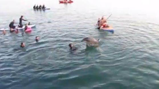"""Delfin """"Nick"""" hat Lust auf Sex: Naturschützer warnen vor den Attacken des Meeressäugers."""