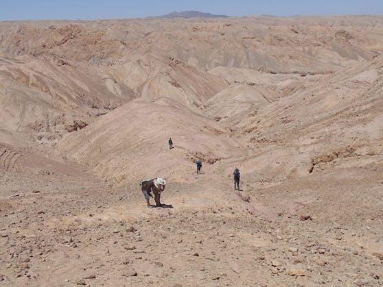 Die Entdeckung, die mitten in der Atacama-Wüste gemacht wurde, gesellt sich zu anderen Fossilien der Meeresfauna, die den Ort vor etwa 160 Millionen Jahren bewohnten, wie Pliosaurier und Plesiosaurier.