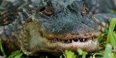 Wie Schatzkiste: Das fand man in einem Alligator