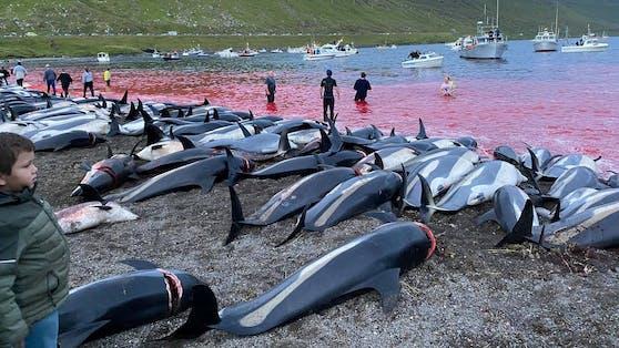 """1.428 Weißseitendelfine fanden beim sogenannten """"Grind"""" ihren Tod."""