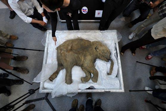 Aus der DNA dieses mumifizierten Mammut-Babys soll die Kreatur wieder zum Leben erweckt werden.
