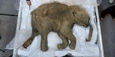 Forscher wollen Mammuts wieder zum Leben erwecken