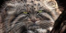"""Ist der """"Manul"""" wirklich die fieseste Katze der Welt?"""