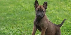 Wau! Polizeihunde-Welpen starten jetzt mit Ausbildung