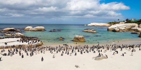 Eine Pinguin-Kolonie in Südafrika wurde Opfer eines Bienenschwarms.