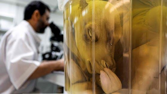 Verrückte Welt: In Dubai kommen die Wissenschaftler der hohen Nachfrage an Klon-Kamelen kaum nach.