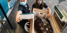 Schildkröte flog Business-Class zurück in ihre Heimat