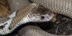 Wegen Kobra und Klapperschlange droht Mann (26) Haft