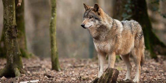 Der Wolf dürfte zwei Schafe gerissen haben und wenig später an Volksschulkindern, die auf den Bus warteten, vorbeigezogen sein.