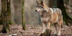 Wolf reißt Schafe und zieht an Schulkindern vorbei