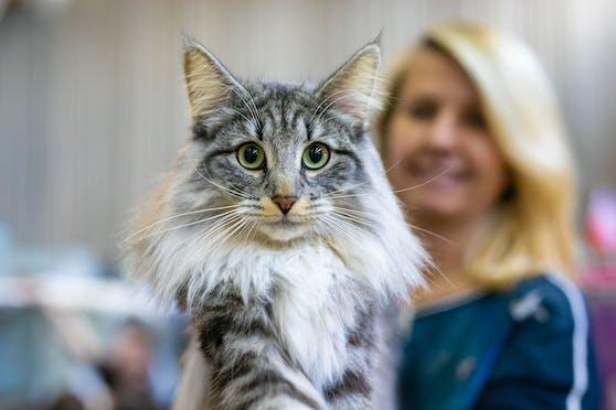 Wer ist der schönste Stubentieger? Ein paar besonders gutaussehende Tiere sind auf der Haustiermesse zu bestaunen.