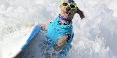 Hunde auf der Suche nach der perfekten Welle