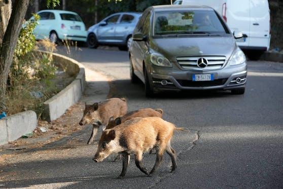 Die Wildschweine haben den Norden Roms bereits für sich erobert.